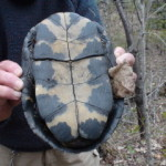 The distinctive markings on a Blanding's Turtle's belly