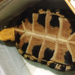 A Blanding's Turtle is found at High Lonesome Nature Reserve