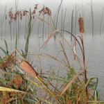 Bullrushes in a wetland in the mist