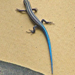 A Five-lined Skink crawls up the side of Chad's tipi