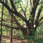 The old red oak tree at High Lonesome Nature Reserve