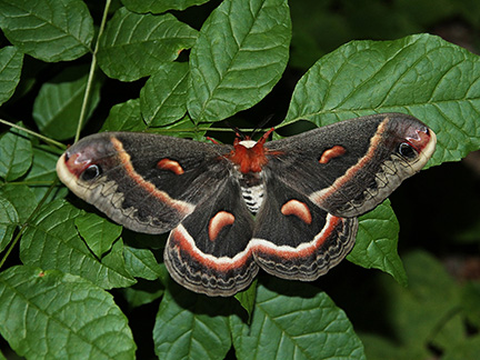 Cecropia Moth photo taken by Simon Lunn