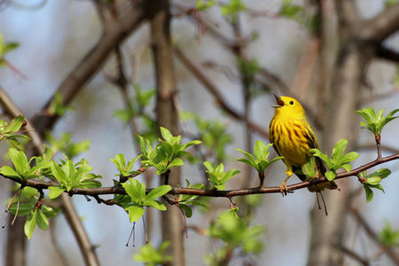 Discover the Wonder of Warblers, May 26